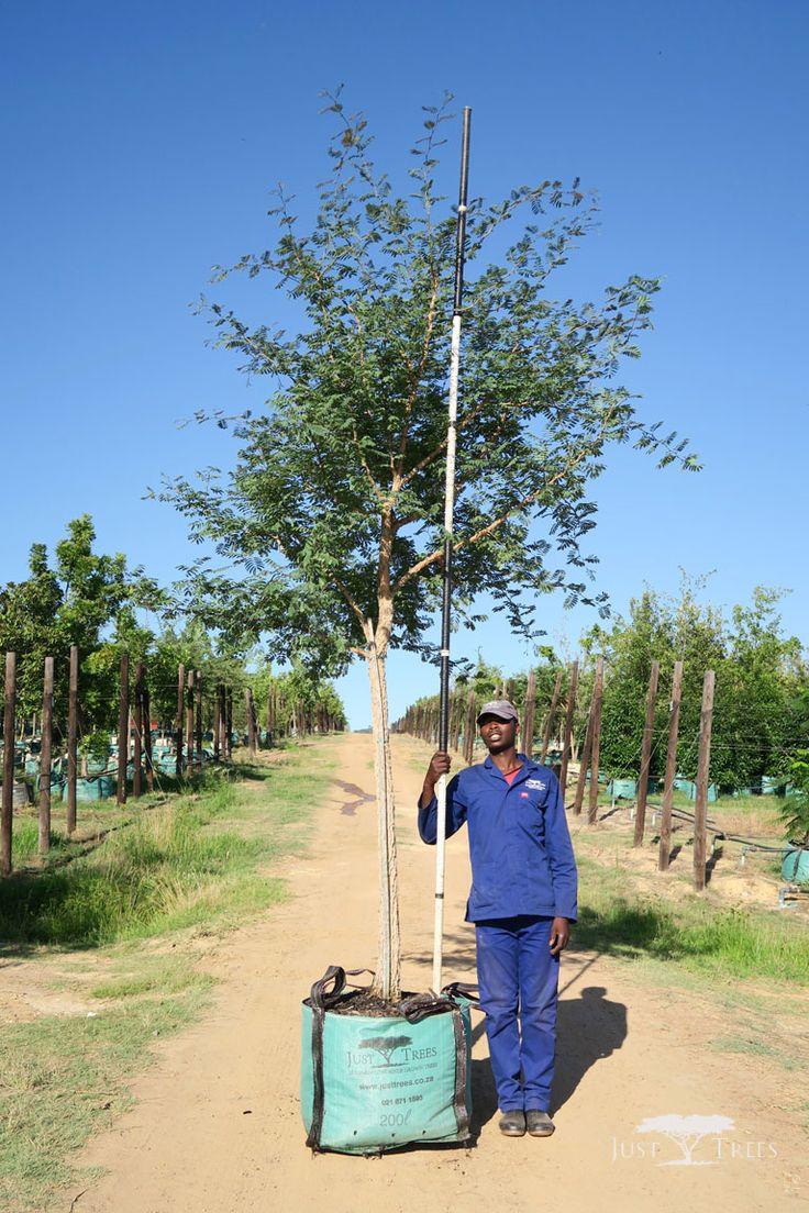 200L - Acacia galpinii (Monkey Thorn)