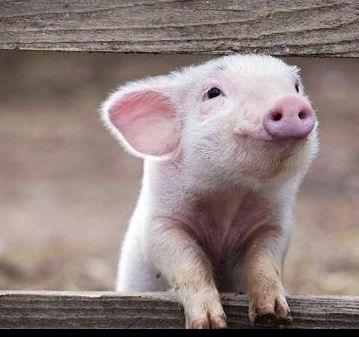 soooooo cute for my piggy loving riends