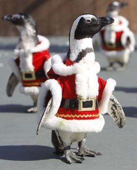 Penguin Santas - This picture reminds me of Oamaru New Zealand where they have a penguin colony that is open for public viewing in the natural environment. It also reminds me of the Antartic centre is Christchurch and Kelly Tartlons in Auckland where they also have pengins.