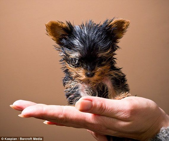 At 3 inches tall, this four month old terrier is on target to be the worlds smallest dog.