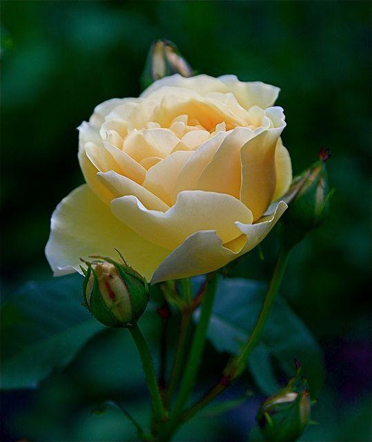 David Austin rose 'Graham Thomas'-quite beautiful and the flowers last longer than most.