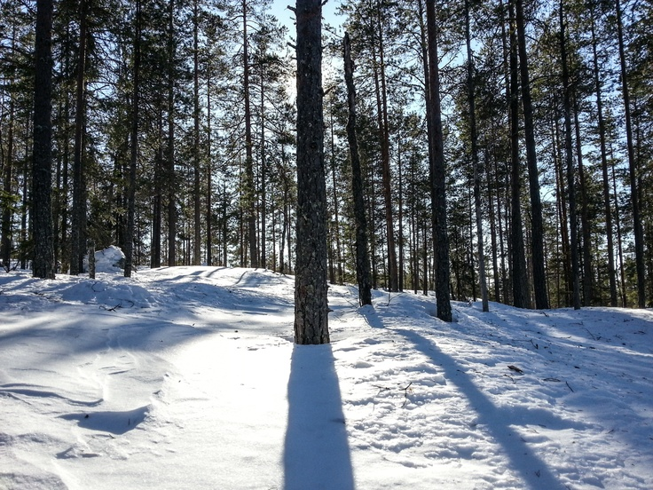 Mänty / Pine