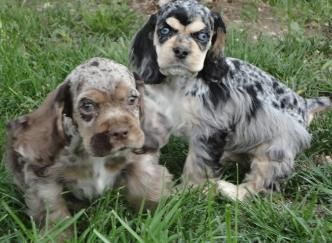 "Merle Cocker Spaniel Puppies - NOT purebred & NOT able to be registered (unless the breeder lies and lists them as ""roan"" colored). Merle genetics cause numerous & potentially deadly health problems. Do not buy or promote it in ANY breed."