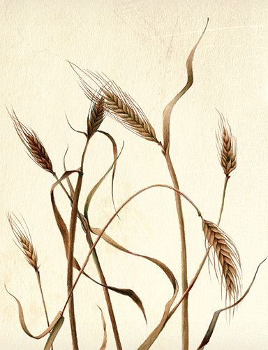 botanical illustration of wheat by Joni Stringfield
