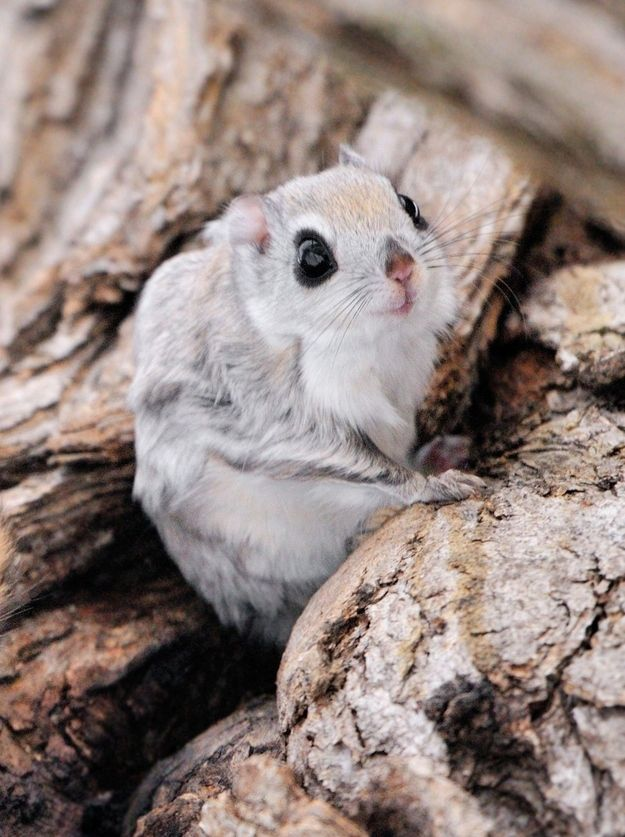 Look How Insanely Cute Siberian Flying Squirrels Are