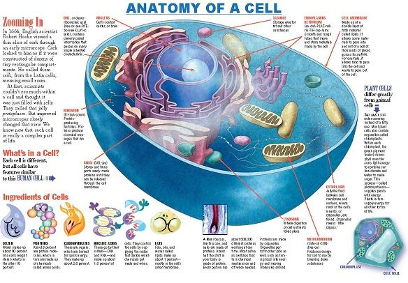 Anatomy of a Cell... Click thru for the free download, great for homeschooling or a lesson in the classroom.