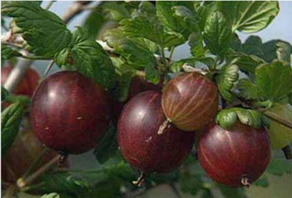 Ribes uva-crispa 'Larell', Krusbär. Stora röda bär.  Mognar i mitten på juli.   Taggfri ny tysk sort, Zon ? Bild: Planteskolen Vester Skovgård.