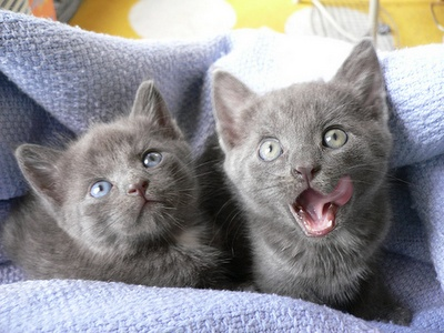 """Two gray kittens, green-eyed """"Melville"""" and blue-eyed """"Dewey"""" were found outside of Lourdes Library on the campus of Gwynedd Mercy College in Pennsylvania."""