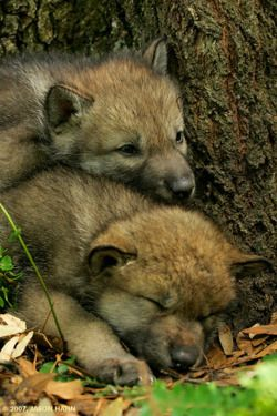 Love For Wolves -tumblr (via thewolfsource-deactivated201401)
