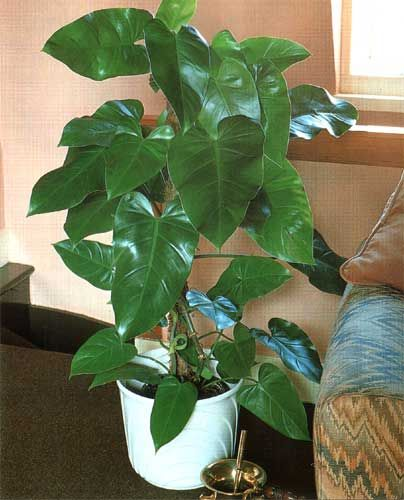 7. Elephant Ear Philodendron (Philodendron domesticum) - Philadendrons are excellent at removing formaldehyde, especially so at higher concentrations. It should also be noted that philadendrons are poisonous.    Plant care: Philodendrons prefer a partial shade and a well drained soil.: