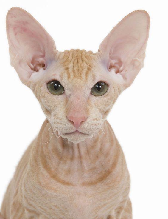 le plus drôle : le peterbald Des oreilles de chauve-souris, trois poils de moustaches et une peau de velours, recouverte ou non d'un fin duvet... Le perterbald ne laisse personne indifférent ! Ce chat d'origine russe est un mélange de sphynx (chat nu) et d'oriental, dont il a gardé le caractère si attachant : drôle, vif, bavard et un tantinet exclusif envers son maître.