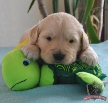 Sweet little baby! Golden retrievers are the best.