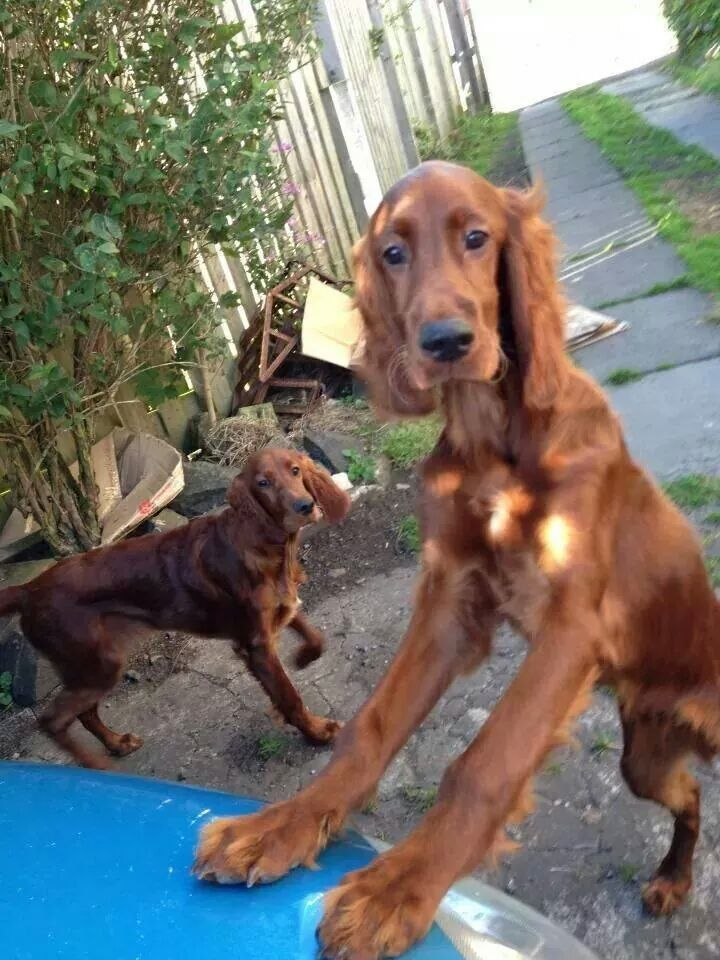 Irish and English setters the best dogs ever