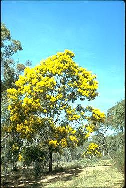 Acacia decurrens. Fast growing hardy tree. Can be used as a hedge plant. Edible gums and flowers.