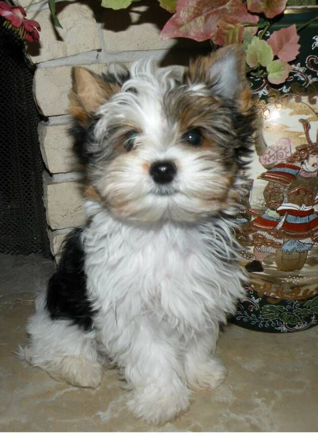 yorkie adult biewer yorkie pictures google search our canine 6352