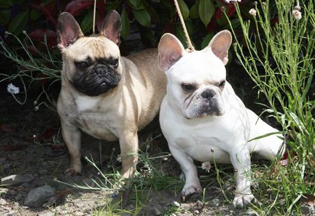 The French Bulldog; does well in small spaces, has few health problems, is easy to groom, can be stubborn, and is very good with family.