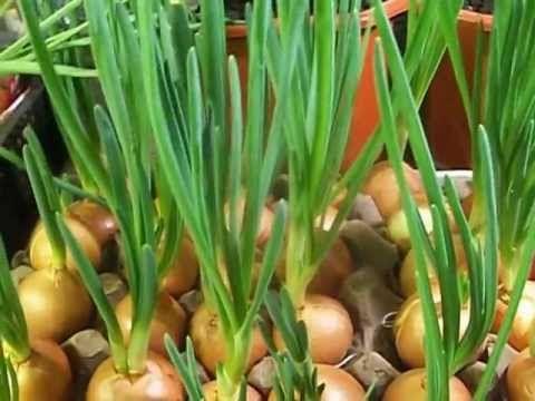 Выращивание зелени лука в домашних условиях - YouTube