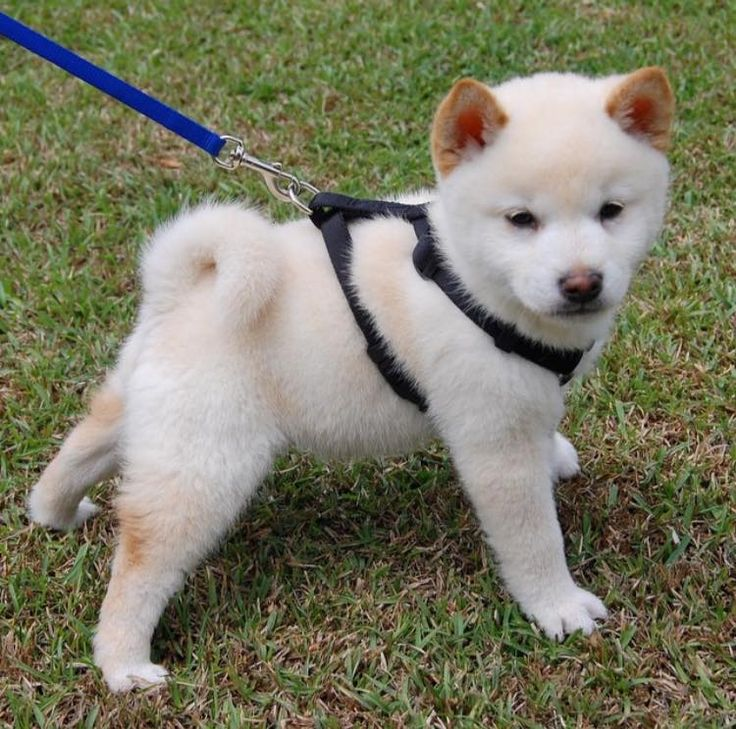 #fbf to my first shiba when he was a little boo. Toshi