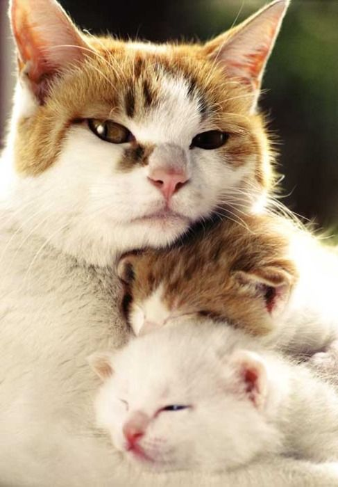 cuddle with mommy: Single Mom, Mothers Love, Cat And Kittens, Mothers Day, Sweet, Families Photo, Cat Photo, Families Portraits, Baby Cat