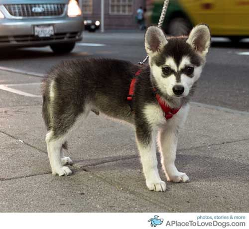A lady in my apartments has one and he is just to cute!! I didn't even know that their were mini huskies.