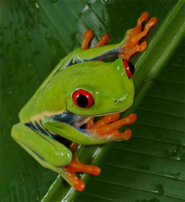 The frog I want for all my kids tattooed on the vines and flowers on my back: Amazons Rainforests,  Tree-Frog, Color Animal, Trees Frogs, Green, Vibrant Color, Google Search, Eye Trees, Red Eye