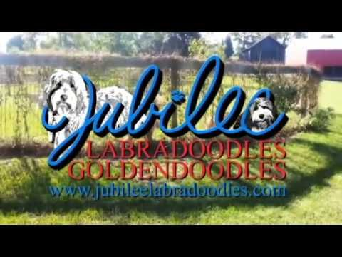 Mini Labradoodle and Goldendoodle Breeder in Michigan | Jubilee Labradoodles