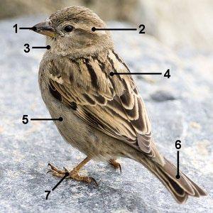 House Sparrow Identification: House Sparrow - Female