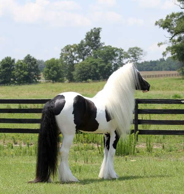 Gypsy Vanner Stallion Pearlie King