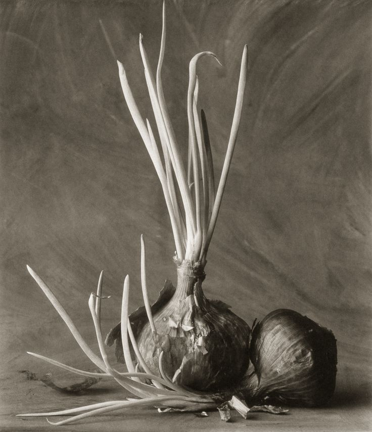 Onion Sprouts ©Cy DeCosse Fine Art Photography. The Beauty of Food Collection. Limited edition platinum-palladium print. CyDeCosse.com #photography #art #food