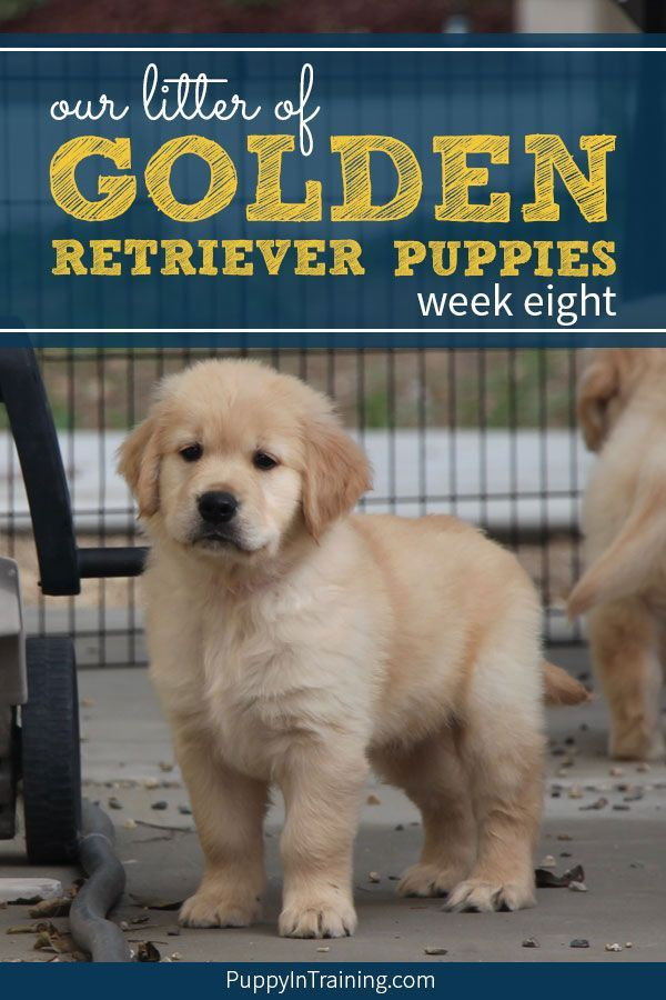 Golden Retriever Training Book The Simple Step By Step Guide To