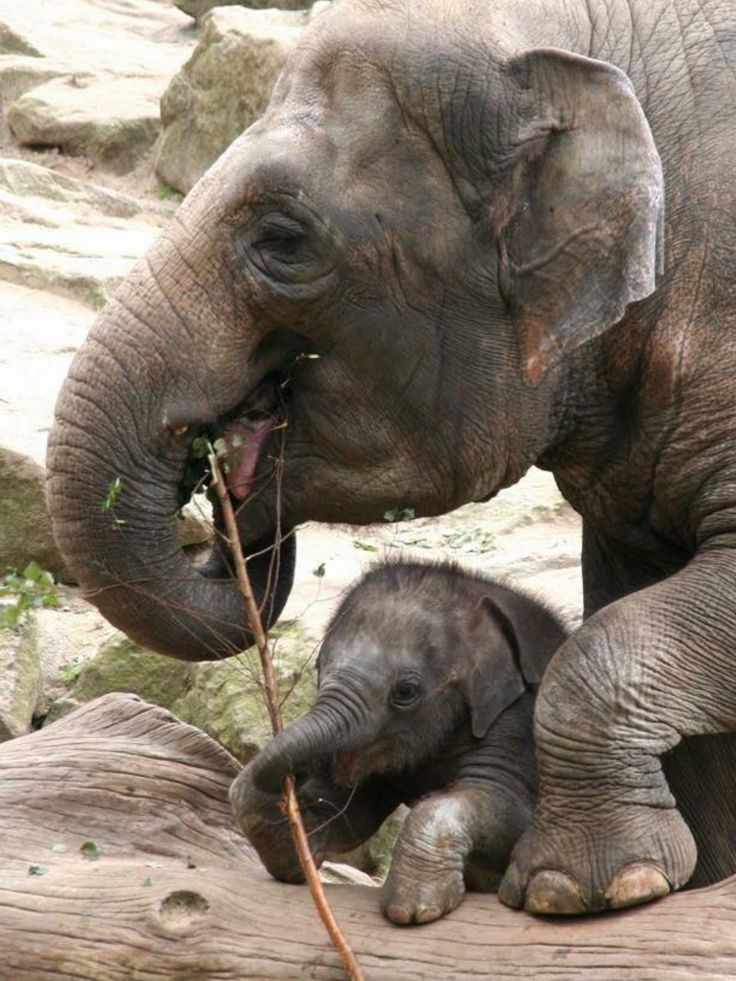"""Elephant mother with her youngster  .    (""""#ANIMALS#"""")"""