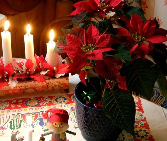 Рождественская пуансеттия