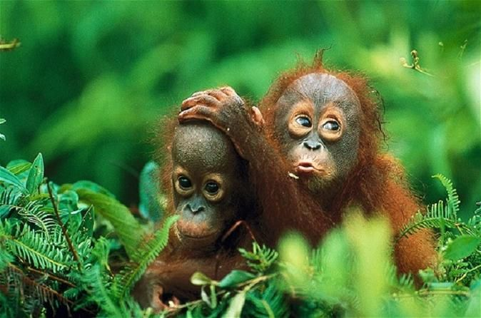 Private Tour: Gunung Leuser National Park Trekking Tour with Orangutan Viewing from Medan This tour will take you to Bukit Lawang Gunung Leuser National park, where you will have a chance to hike some of the world's most beautiful rainforests ultimately leading to a viewing of one of Sumatra's most famous inhabitants, the Sumatran Orangutan.Depart from Medan early in the morning to Bukit Lawang Gunung Leuser National Park, one of the largest national parks in the world contain...