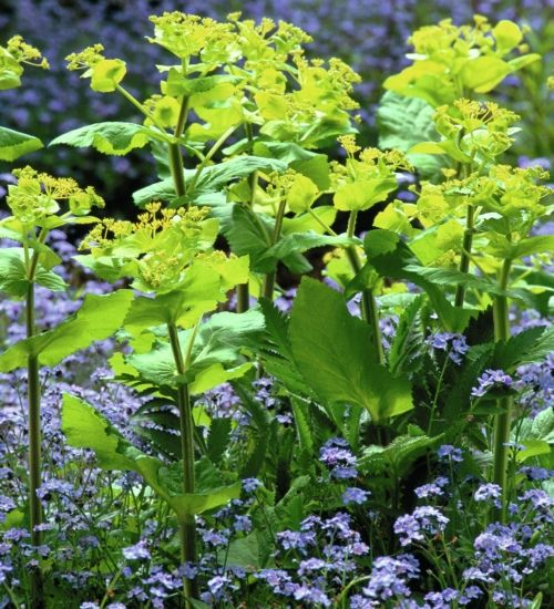 Smyrnium perfoliatum is one of my favourite spring foliage plants for the garden and to pick with tulips and wallflowers. It looks good in the garden for months and has a vase life of three weeks.
