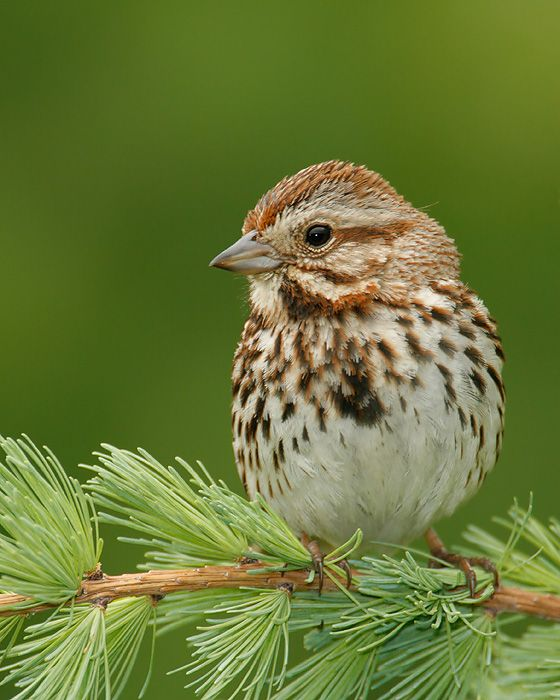 Song Sparrow - when he sings his unique song, I know Spring is really here.  I love to watch the birds.  They are such wonderful parents, constantly flying back and forth to take care of their young.  It was one of my mother's favorite birds as well.