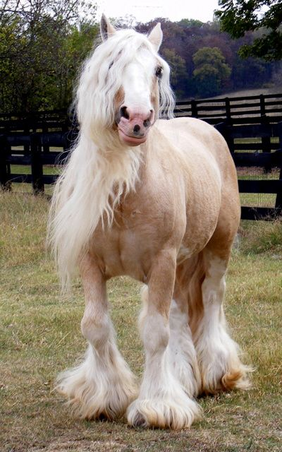 A palomino Gypsy Vanner...I must have one!!  Gorgeous!