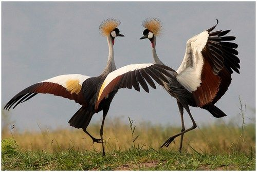 Black Crowned Crane dance - Balearica pavonina @ Ntoroko Semliki Valley Uganda  by Jan Rillich