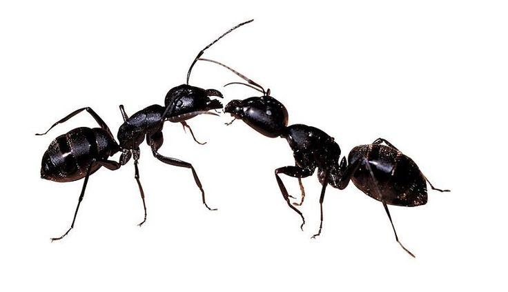 5 trucs pour se d barrasser des fourmis trucs et bricos. Black Bedroom Furniture Sets. Home Design Ideas