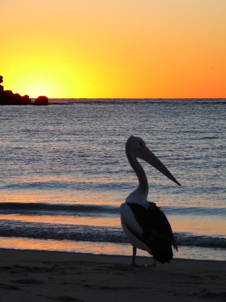 Pelican, Kalbarri, Australia