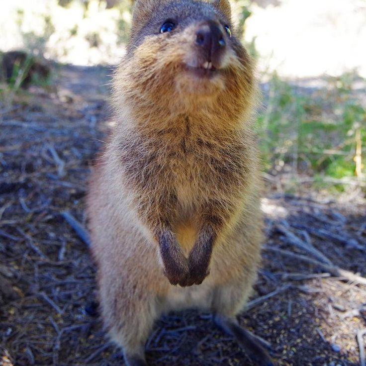 hello Quokka 会いたかったよクォッカ . #instatravel#perth#animal#travel#Australia#rottnest#rottnestisland#パース#ロットネスト#島オーストラリア#キングスパーク#旅行#旅人#クォッカ#クォッカワラビー by ykr_smy http://ift.tt/1L5GqLp