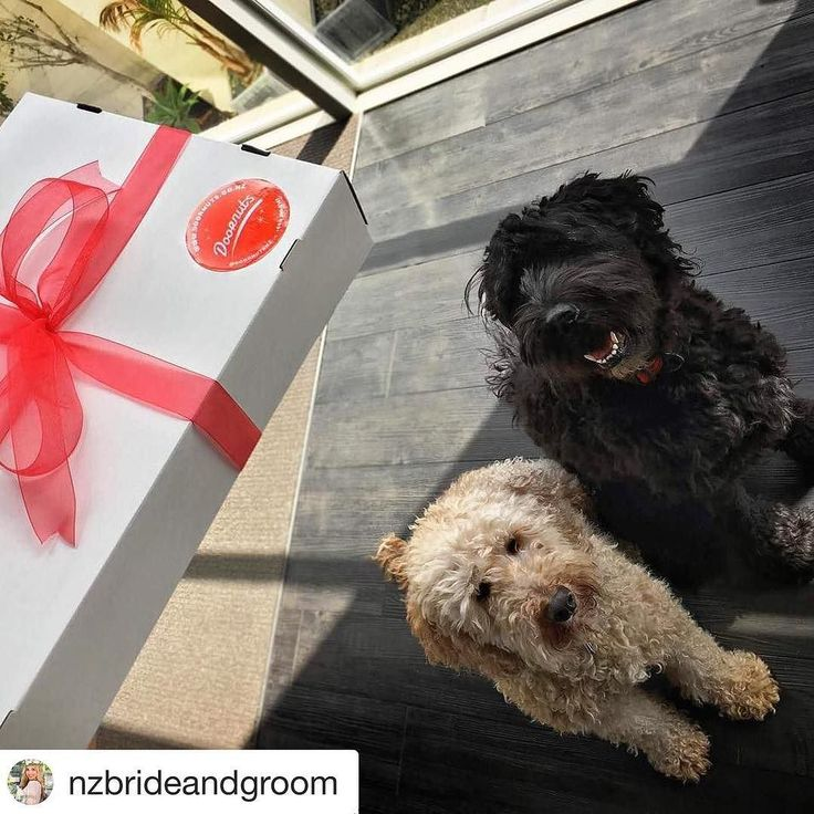 Shadow and Storm got their Doornuts delivery last week  Have you ordered yours yet? . www.doornuts.co.nz Rescueme@doornuts.co.nz . Thanks for sharing this super cute picture @nzbrideandgroom  Love the doggos  . #Repost @nzbrideandgroom  Fri-yay! Delicious Donut Delivery to help us make our DEADLINE! Thanks @doornutsnz for creating & delivering these yummy goodies! We all (including Shadow and Storm) can't wait to see inside this box as we know we are going to LOVE them just as much as we…
