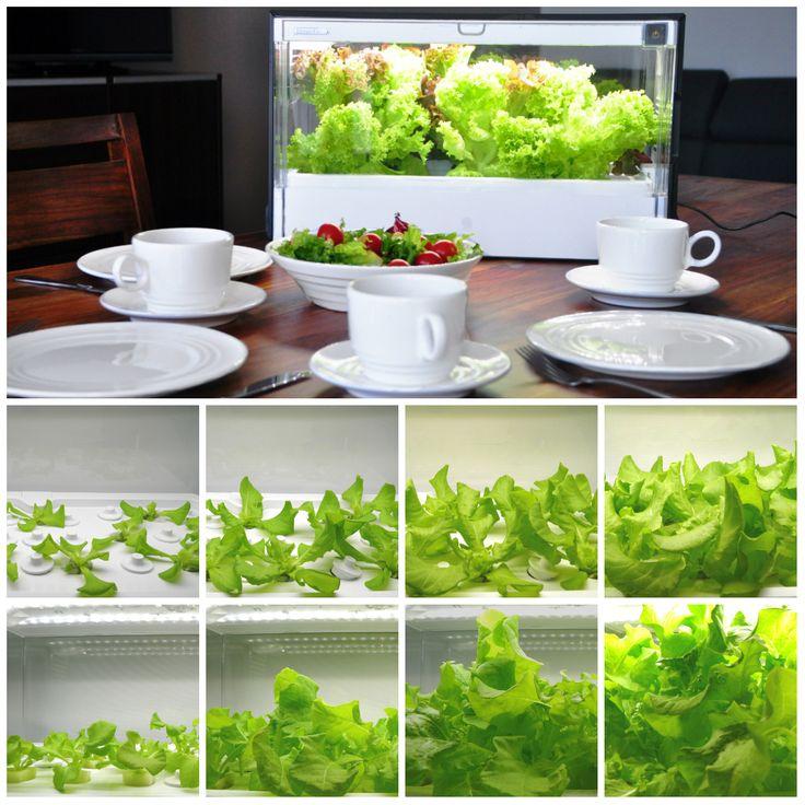 Czy można we własnym domu uprawiać warzywa?  Uprawy domowe - nowe oblicze Miejskiego Ogrodnictwa i alternatywa dla tych co chcą żyć bliżej Natury. Przyjemnie jest patrzeć, jak rosną warzywa... szczególnie, gdy nie trzeba przy tym nic robić. :-) #GreenFarm #DomowaUprawa #Hydroponika #BezPestycydów #StylŻycia #ZdroweJedzenie #IndoorGarden #Design #LifeStyle