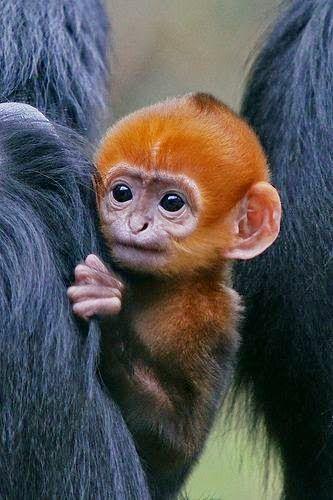 Infant Francois' Langur... François' langur,is also known as Francois' leaf monkey, Tonkin leaf monkey, or white side-burned black langur and  is a species of lutung .