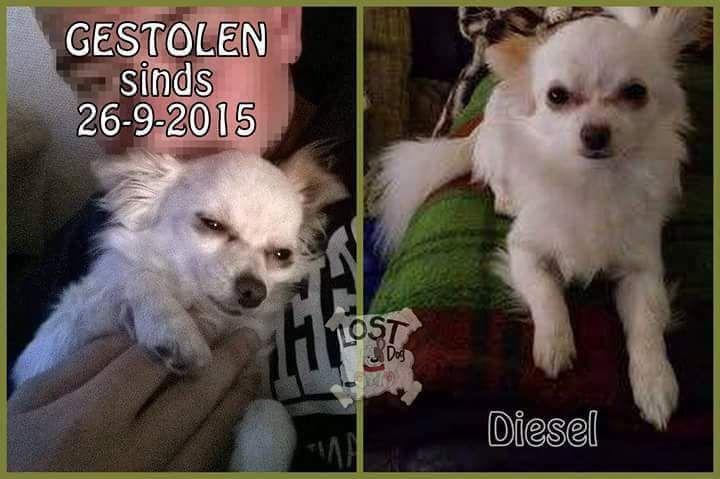 Het Centrale Meldpunt Voor Vermiste Huisdieren In Vlaanderen Huisdieren Honden Diesel