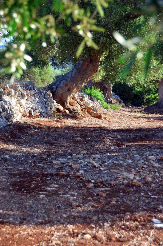 Alter Olivenbaum Apulien. Familienreise in Süditalien. Olivenhaine im Itra-Tal. Landreise in Italien (Apulien).