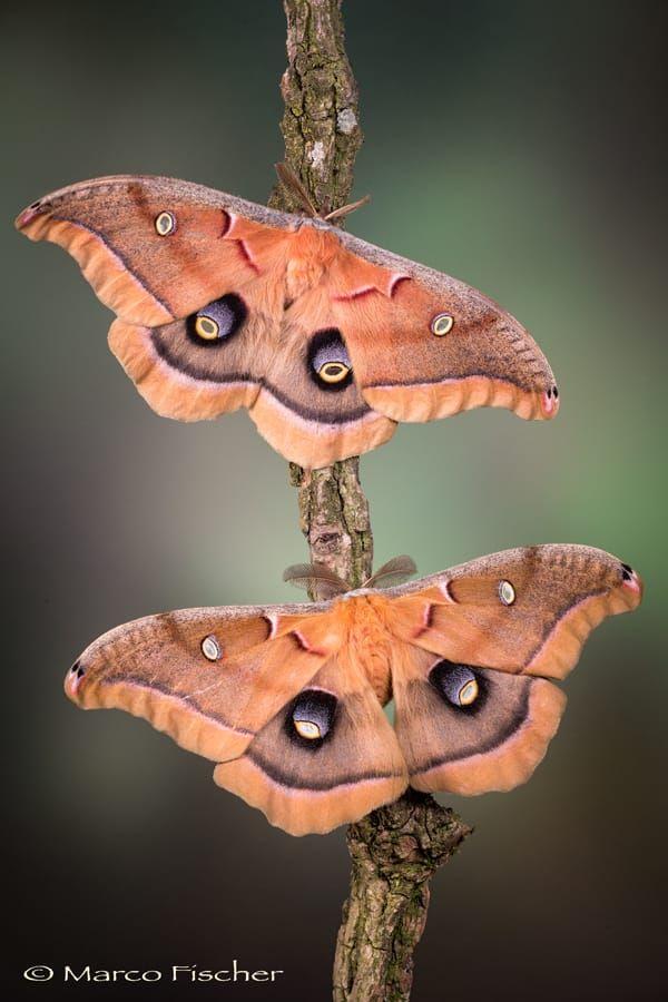 "Saturniidae Moths <a href=""www.marcofischerphoto.com"">MY WEBSITE</a> | <a href=""www.creative-macros.com"">CREATIVE-MACROS</a> | <a href=""www.facebook.com/marco.fischer.1848"">FACEBOOK</a>"