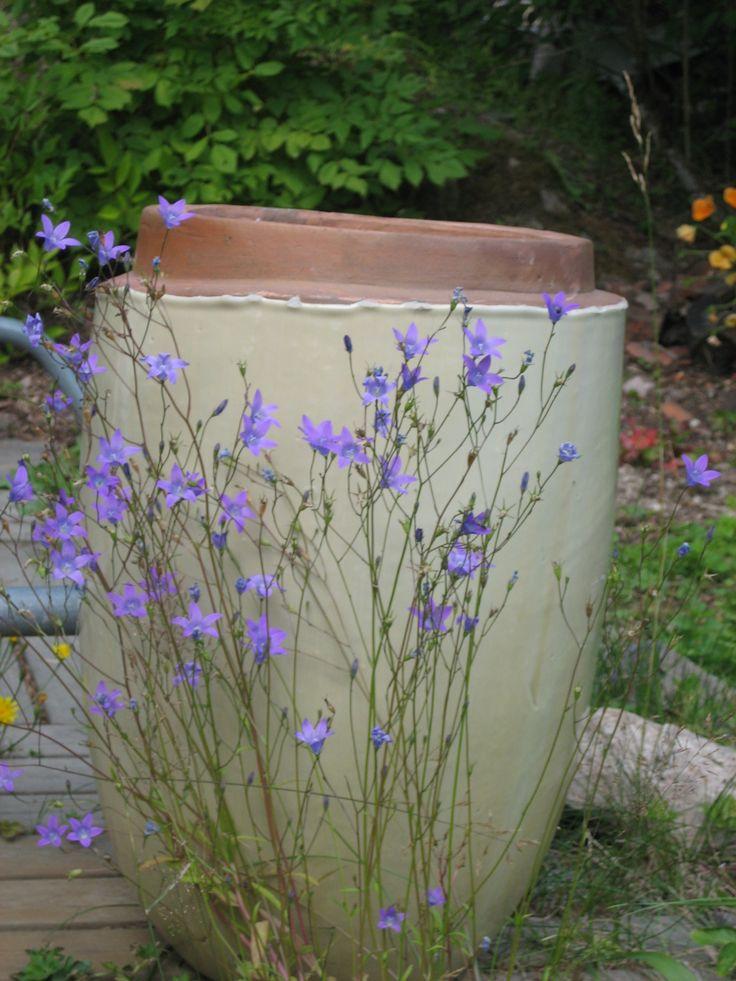campanula patula - spreading bellflower - ÄNGSKLOCKA. Jan sowing. Blooms jun-aug
