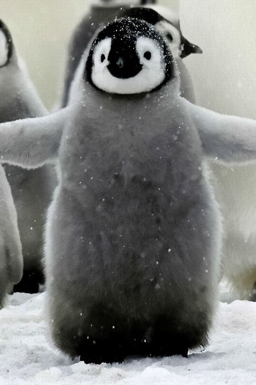 Baby Penguin OMG does he have to be that CUTE!?!