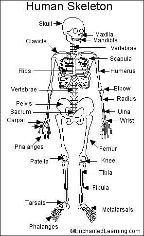 Some websites on bones and the skeletal system.