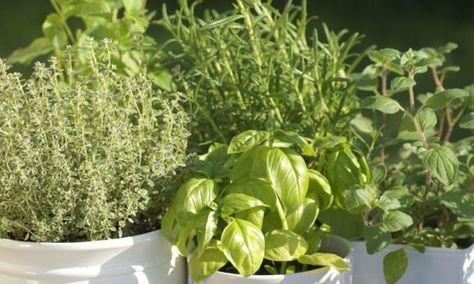 Kräuter pflanzen und pflegen